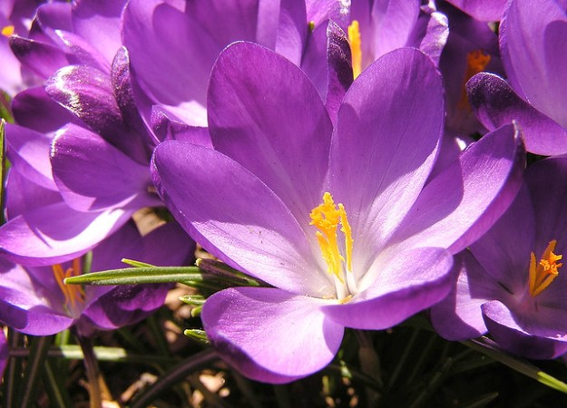 Crocus. Liz West, cc license