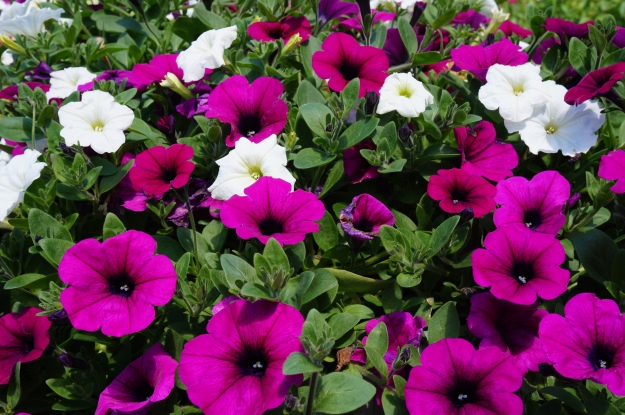Petunias at Lake Louise